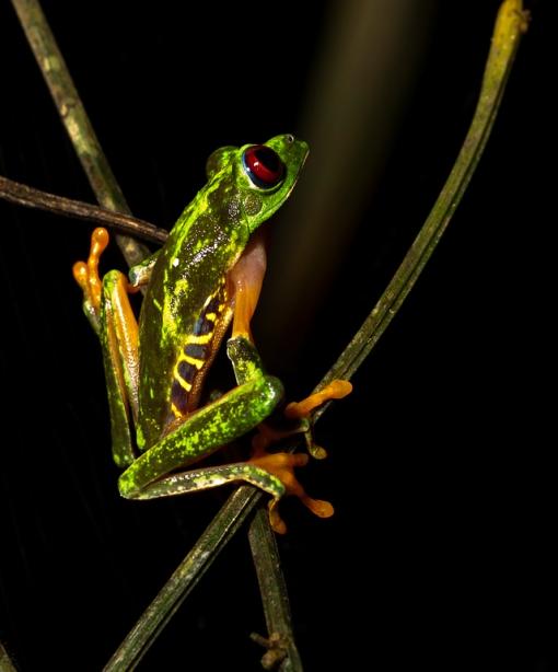 Tree Frog, Gamboa Rainforest Resort, Panama