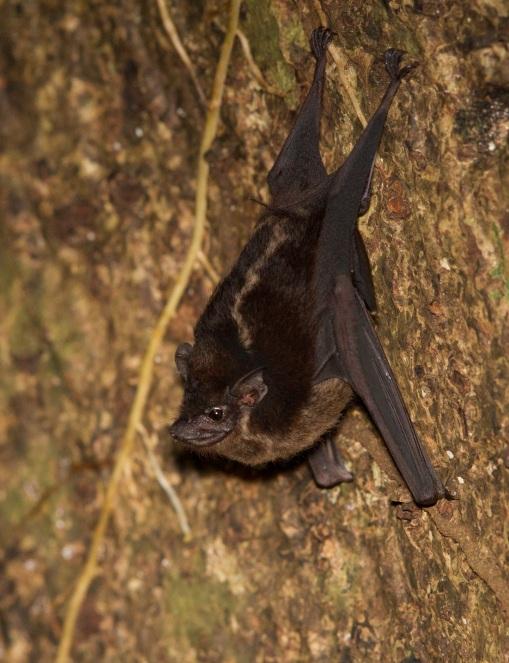 White Lined Bat