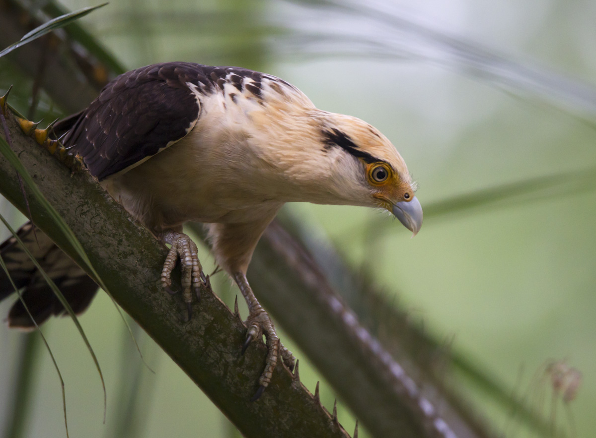 John Afdem S Panama Photog Blog Panama Birds Wildlife