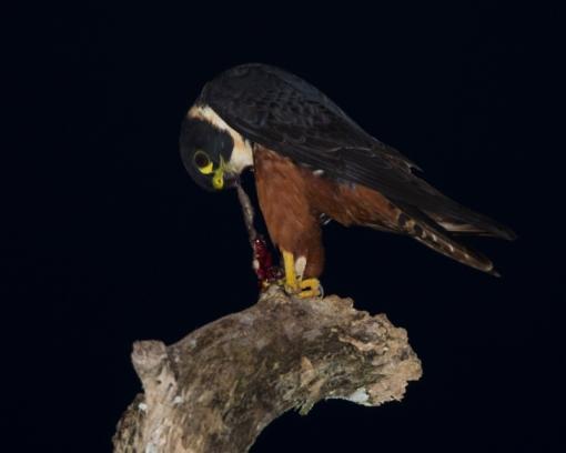 Falconiformes. sub Falconidae - sub fam Falconinae - gênero Falco - Página 2 Bat-falcon-dining